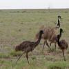 220px-Emu_family