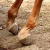 lfn-deformity-on-foal